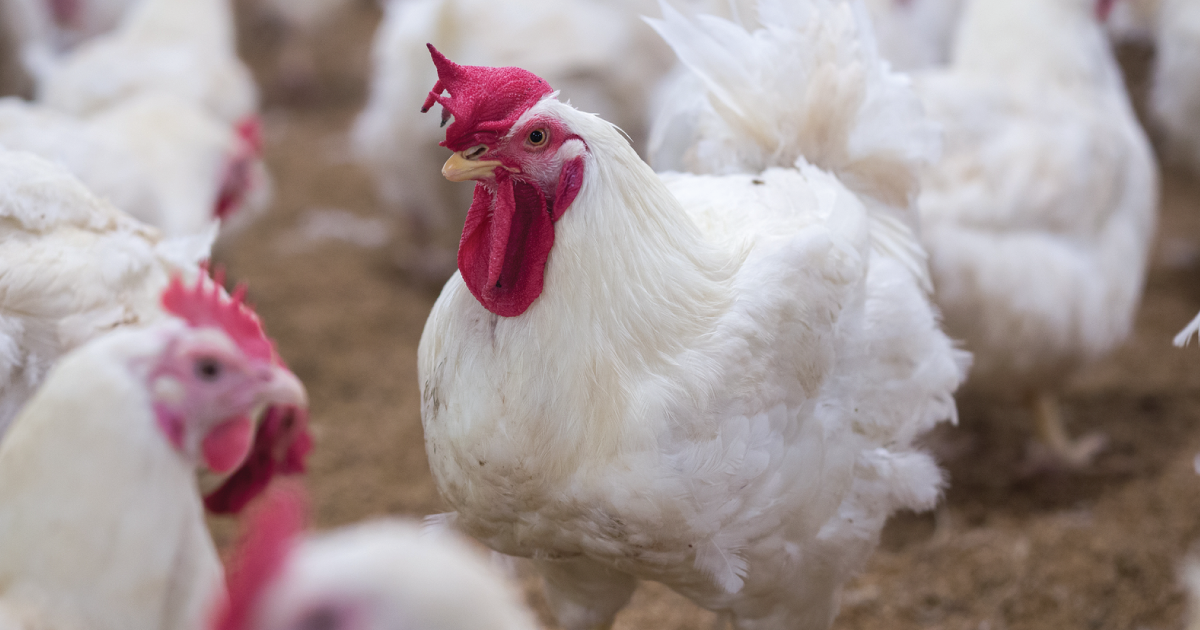 Chicken Farmers Thought Trump Was Going to Help Them, But His