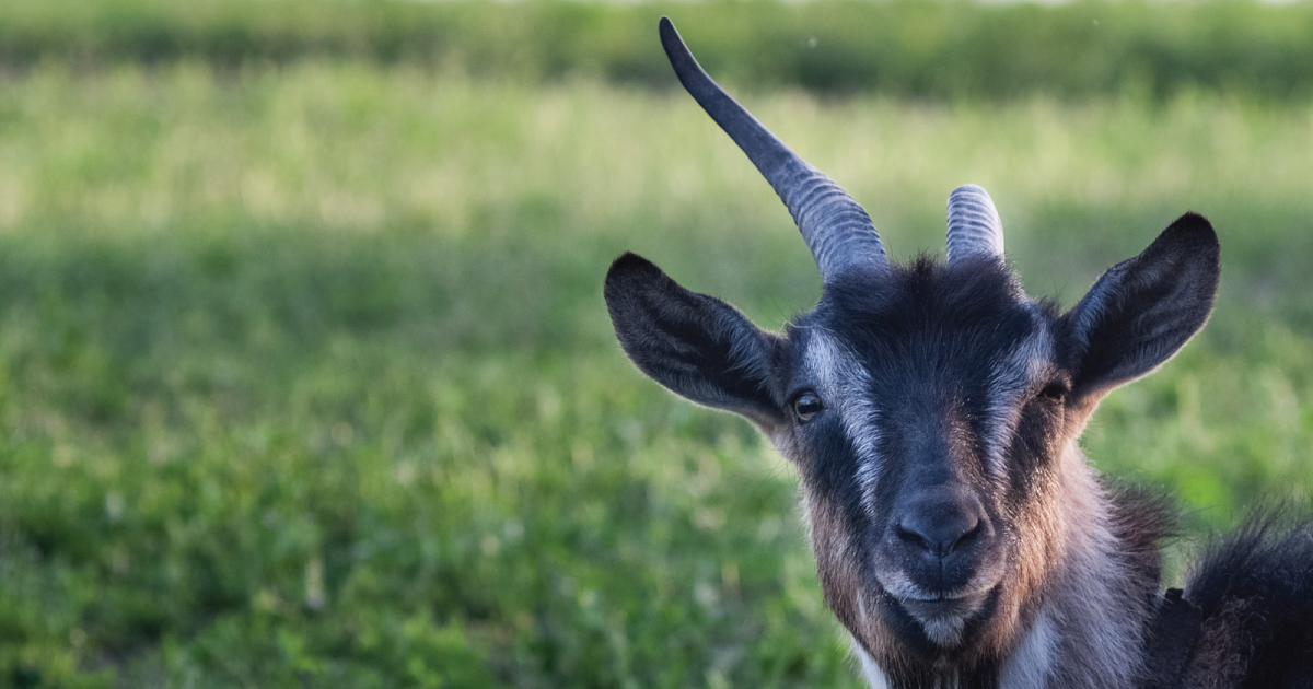 Goat Fund Me' Campaign Aims to Use Farm Animals to Fight