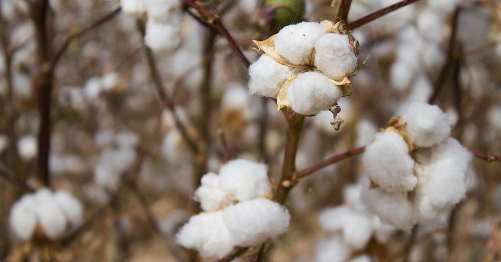 6e37ac212e5 9 Reasons to Buy Products Made From Organic Cotton