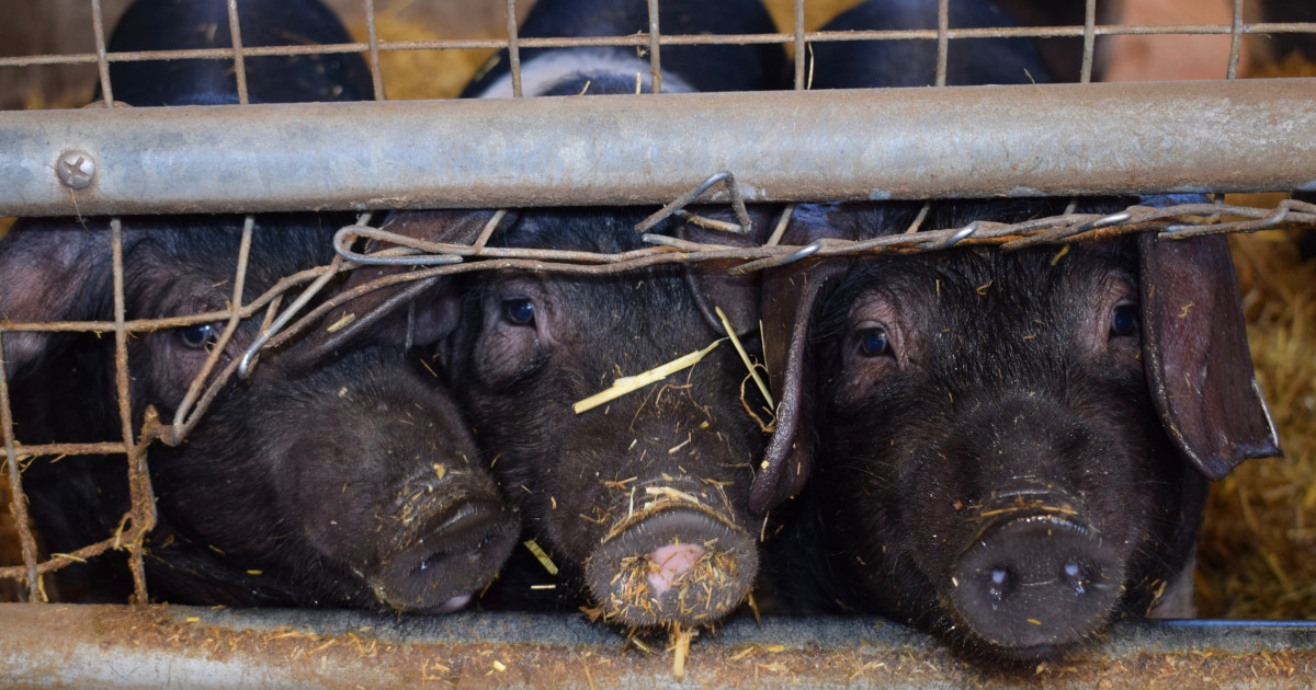 Antibiotics Are Losing Their Effectiveness. The Pork Industry Knows