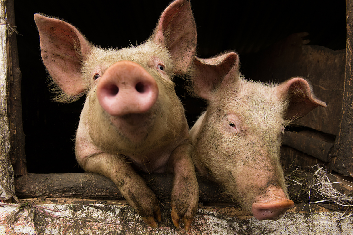 Pork Chops, Pig Smarts & Muckraking: An Interview with Barry
