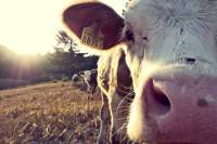 Close up of a cow in the early morning