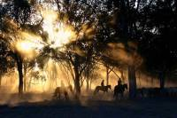 People riding horses herding cattle in a foggy forest at sunrise