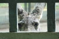 Kangaroo looking through a small hole in a fence