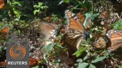 A campaign to save the Monarch butterfly