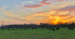 Orange sunset with black cows on regenerative ranch