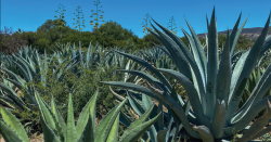 Agaves.