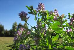 Alfalfa is a commonly grown monocrop