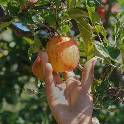 hand reaching up to pick an apple in an orchard