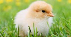 baby chicken on a field of green grass