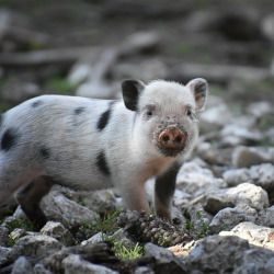 spotted baby piglet in a forest standing on rocks
