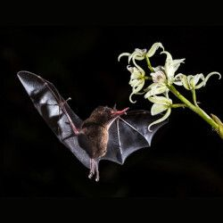 Bat pollinating a flower