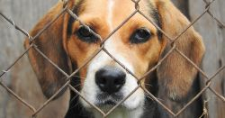 beagle behind a chain link fence