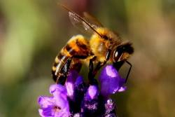 Close up of a honey bee on a single purple flower