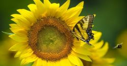 bee and a butterfly flying and landing on a large yellow sunflower