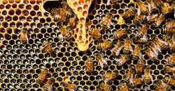 honey bees flying around a honey comb