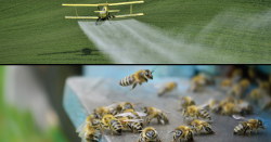 Pesticides and bees.