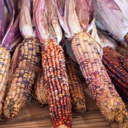 Dried ears of colorful Indian Corn