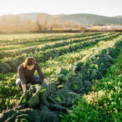 farmer in a cabbage field harvesting vegetables