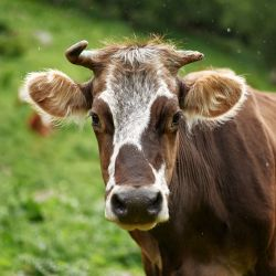 brown and white spotted cow grazing on a green grassy field