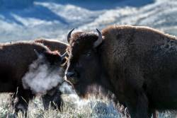 Herd of water buffalo in Yellowstone National Park