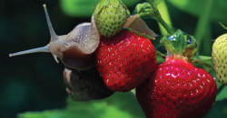 Snail on a strawberry plant