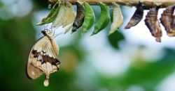 butterfly emerging from a chrysalis
