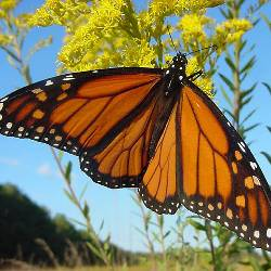 Monarch butterfly resting on a yellow flower