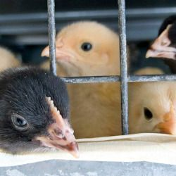 caged black and yellow baby chickens in a factory farm