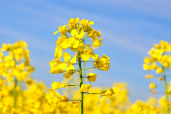 flowering canola plant in field of canola