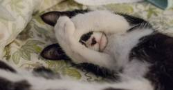 black and white cat sleeping on a bed with its paws over its eyes