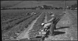 Cheap labor working on farms in Sana Clara California