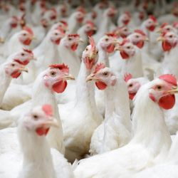 white chickens in a poultry factory farm CAFO