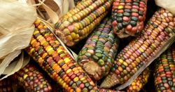 colorful ears of dried corn