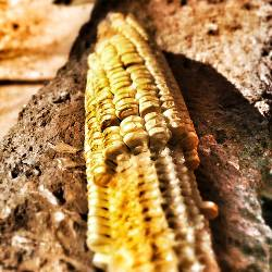 Corn Farms Are Cooking the Planet