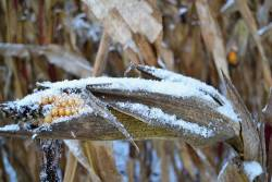 Organic Bytes #498:Corn, Corruption, and the Presidential Caucuses