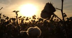 Cotton flower buds in a field at sunset