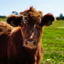 Baby brown cow calf in green field