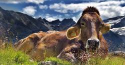 brown cow resting in a meadow by a large mountain landscape