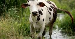 cow walking through a small creek near a grassy field