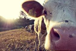 Close-up of a cow in a sunny field