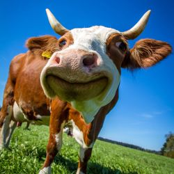 close up on a cow in a sunny meadow smiling