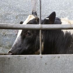 black and white cow behind a metal fence on a factory farm CAFO