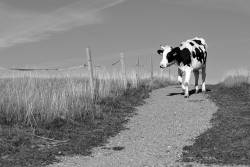 Black and white shot of a cow walking along a gravel path next to a pasture