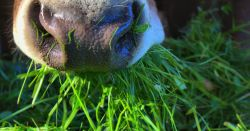 Cow eating grass.
