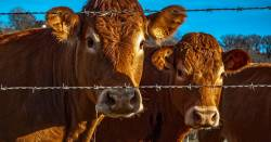 brown livestock cows on a farm field next to a barbed wire fence