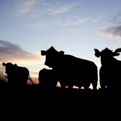 shadows and silhouettes of cattle grazing in a meadow at sunset