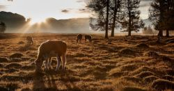 cows grazing in a pasture on a farm at sunrise surrounded by foggy mist