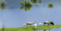 cows standing in a flooded pasture