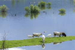 Cows grazing near a flooded farm field